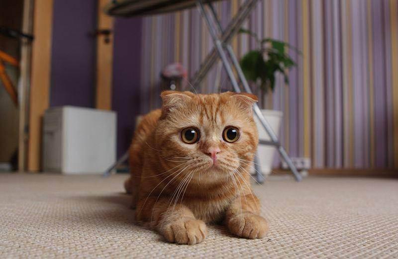 Коричневая грязь в ушах у кошек — эффективная помощь питомцу