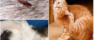Как избавиться от блох у взрослой кошки и котёнка в домашних условиях