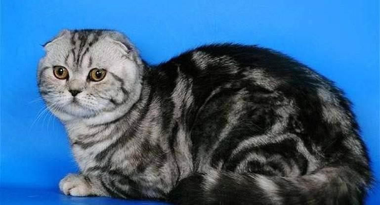 Шотландская кошка: разновидности, характер, уход за питомцем