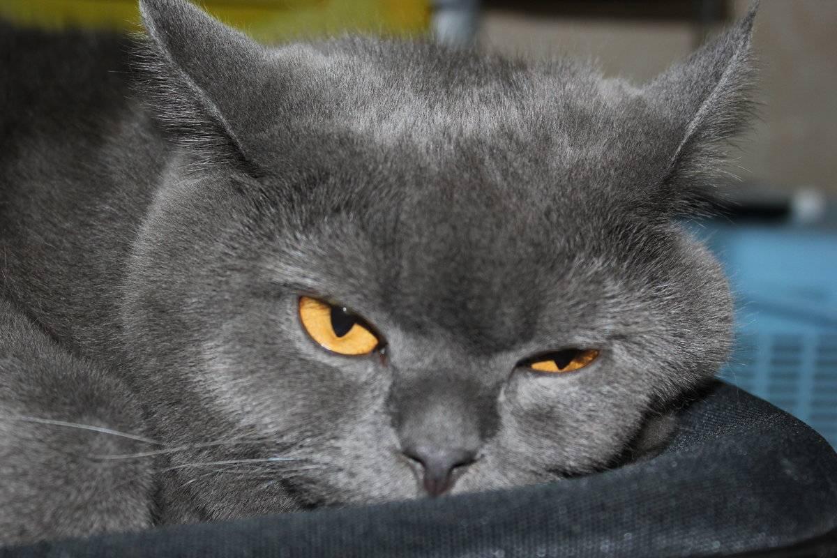 Британец + шотландец - питомник шотландских кошек style jasmine г. санкт-петербург