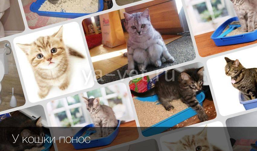 Понос у кошки, чем лечить? советы ветеринара   дети фауны