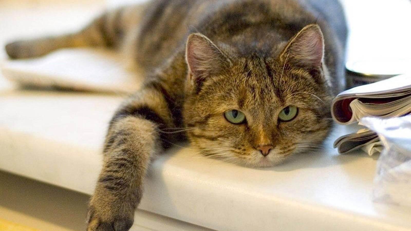 Мочекаменная болезнь у кошек: лечение
