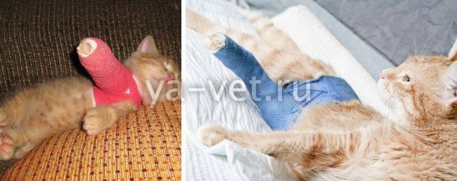 Что делать, если у кота болит лапа и он хромает