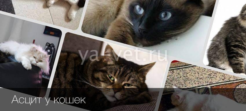 Асцит у кошек: симптомы и лечение в домашних условиях, можно вылечить, прогноз