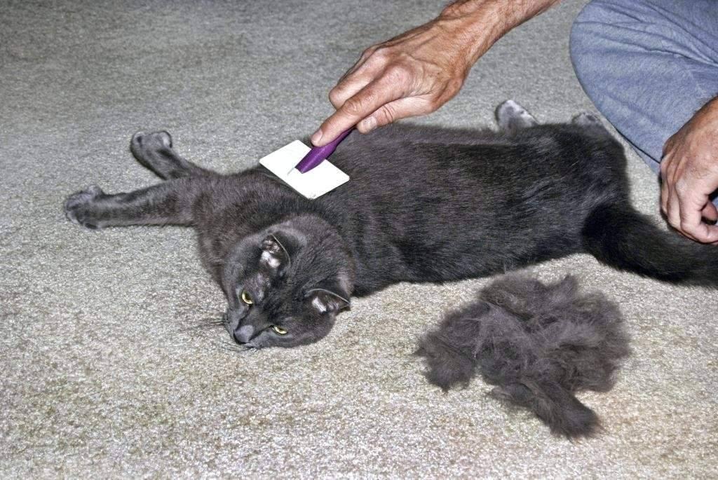 Сильно линяет шотландская кошка – что делать: причины и профилактика выпадения шерсти
