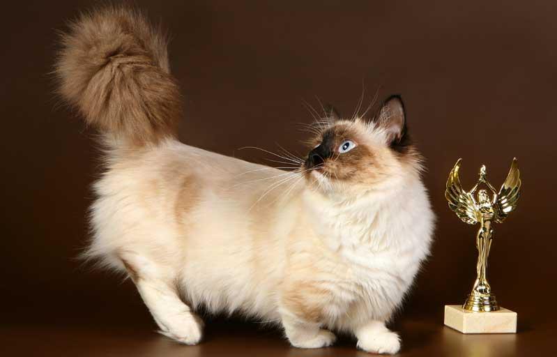 Манчкин кошка. описание, особенности, цена и уход за породой манчкин | животный мир