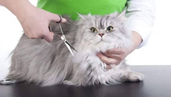 Стрижка котов (41 фото): как подстричь кошкам шерсть под льва? можно ли делать стрижку кошке зимой? за и против гигиенической стрижки