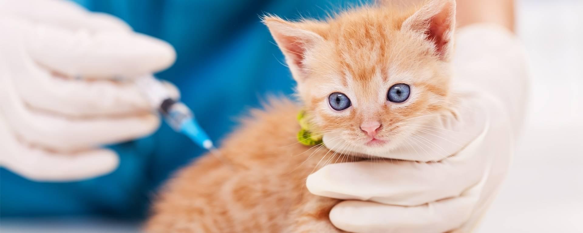 Вакцинация для котов шотландцев: как защитить здоровье домашних любимцев