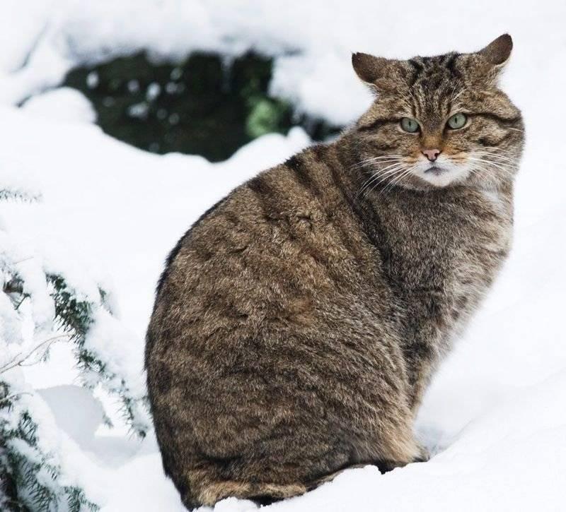 Лесной кот — образ жизни европейской дикой кошки