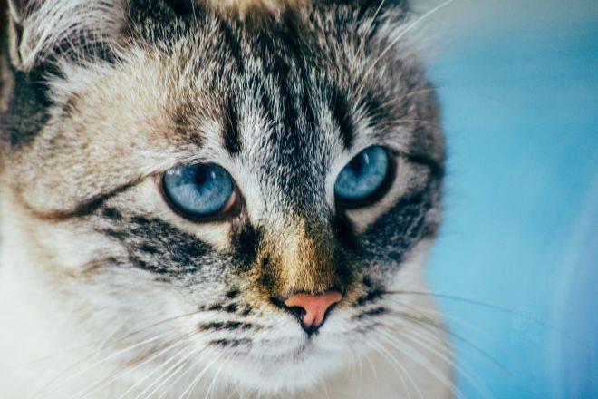 Стандарт и особенности породы голубоглазых кошек охос азулес