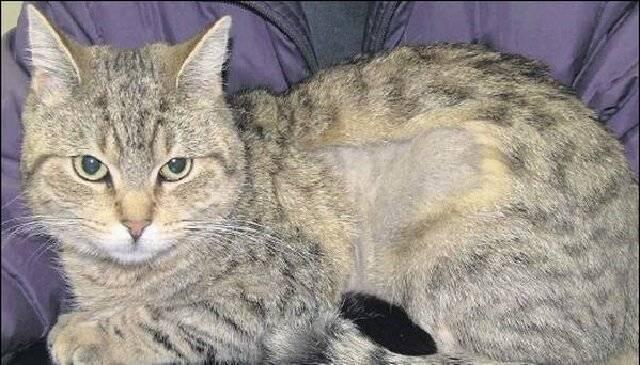 Причины и лечение облысения у кошек