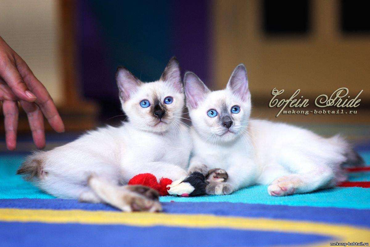 Тайская кошка. описание, особенности, уход и цена тайской кошки