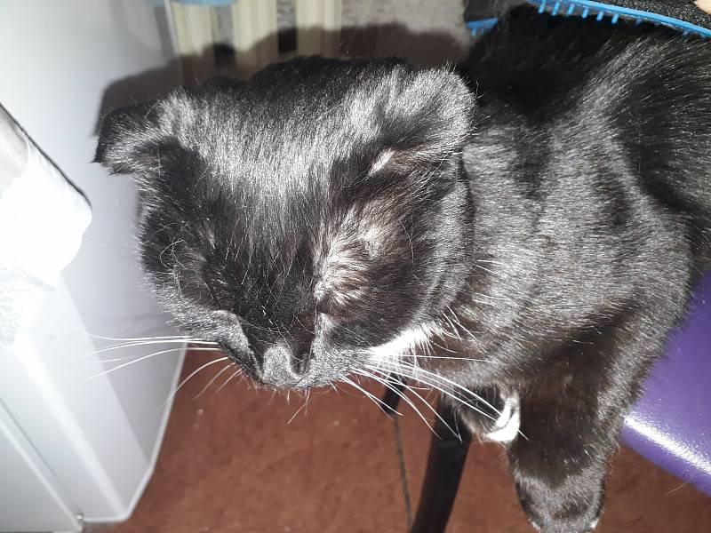 Что делать, если у кошки над глазами появляются залысины?