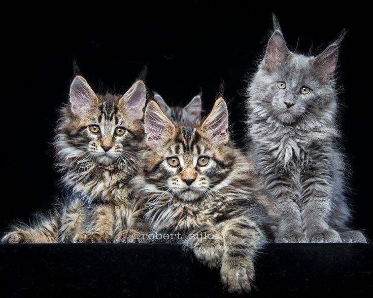 Сравнение мейн-кунов с обычными кошками (17 фото): как отличить кота породы мейн-кун от обычного котенка?