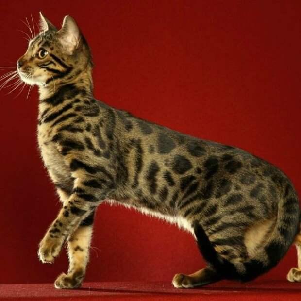 9 пород кошек, от которых вы не увидите много шерсти в квартире
