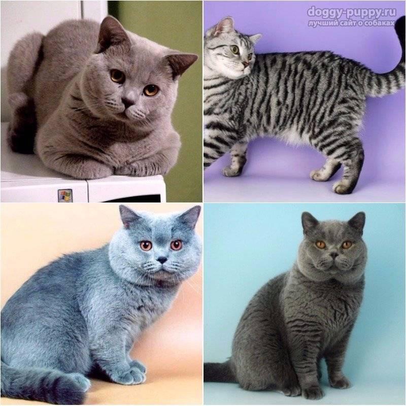 Разнообразие окрасов британских кошек: всё не заканчивается голубым