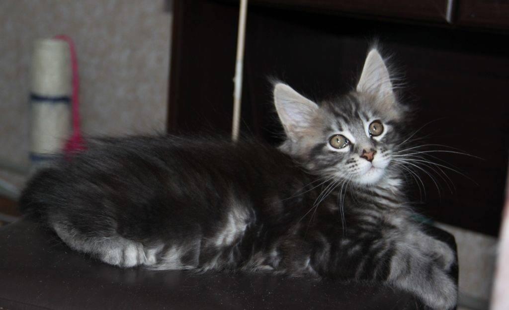 Котята мейн-куна: как растить и ухаживать, воспитывать