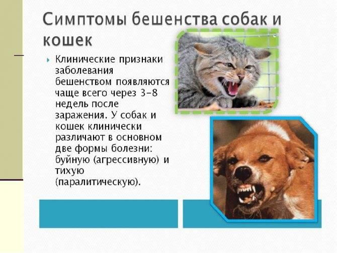 Признаки бешенства у домашней кошки: первые симптомы в различных формах заболевания