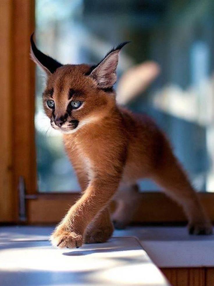 Домашние и дикие кошки с кисточками на ушах