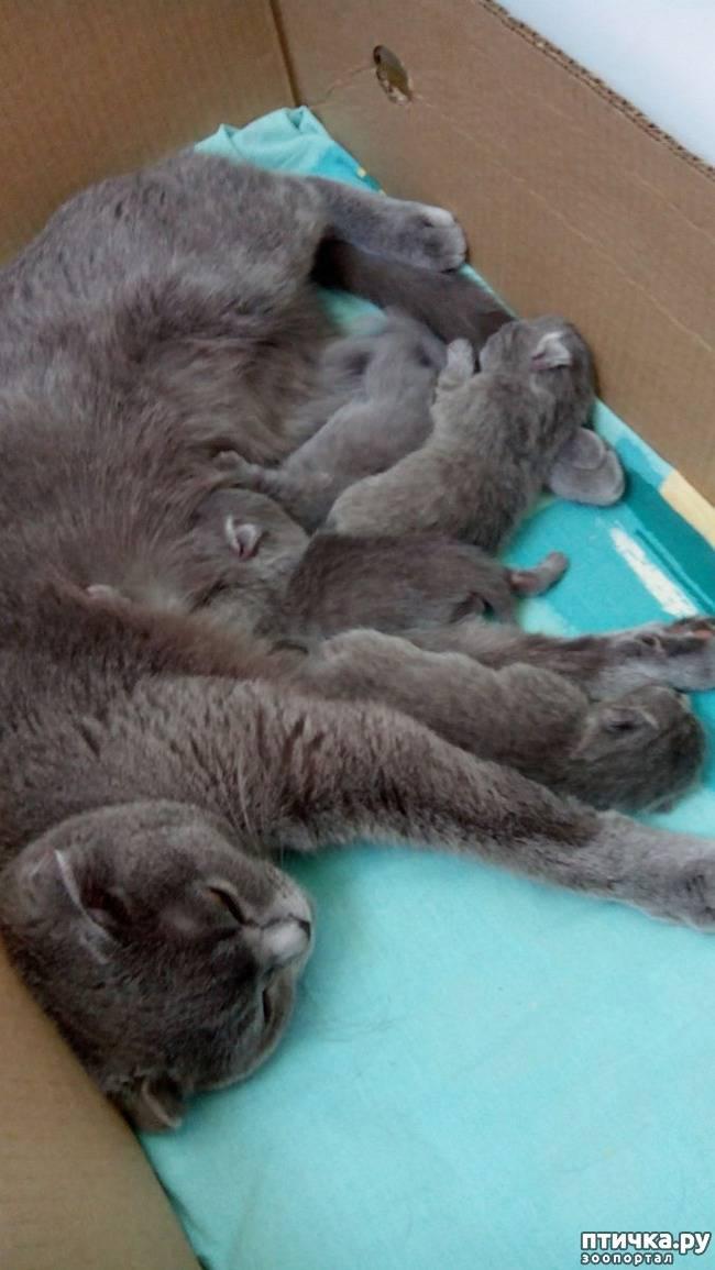 Отсутствие течек у кошки и нерегулярные течки
