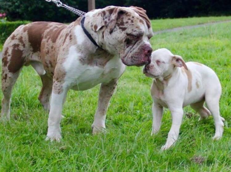 Тервюрен - бельгийская овчарка: фото и описание породы, где купить щенка, уход