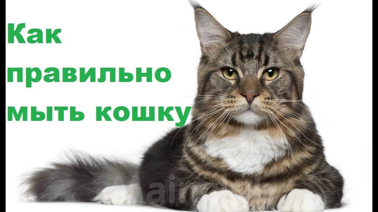 В чем заключается правильный уход за выставочной кошкой?