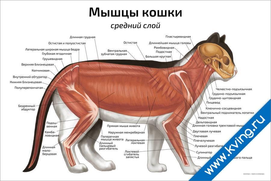 ᐉ расположение внутренних органов кошки: член или пенис у кота, анатомия - kcc-zoo.ru
