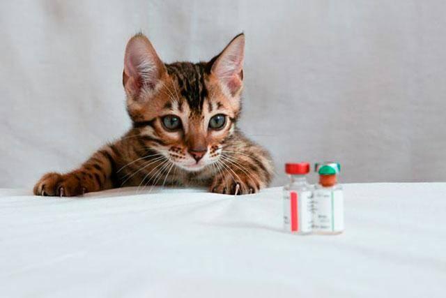 Прививка от панлейкопении кошек: вакцина от кошачьей чумки