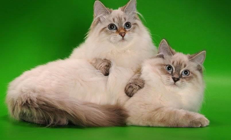 Невская маскарадная кошка: описание породы, достоинства и недостатки