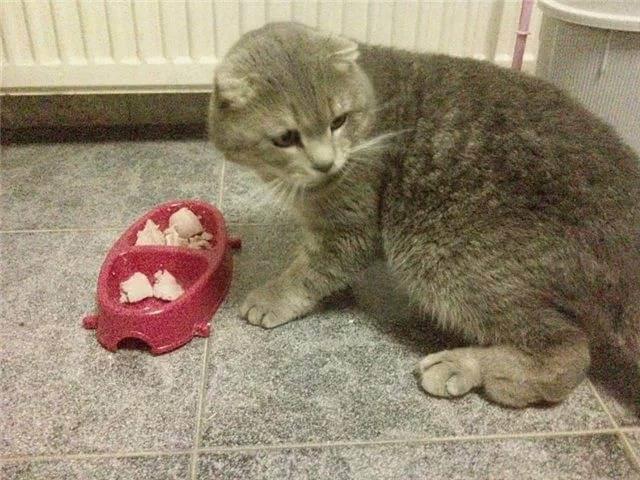 Остеохондропатия у кошек в каком возрасте проявляется. болезни шотландских вислоухих кошек: список, симптомы