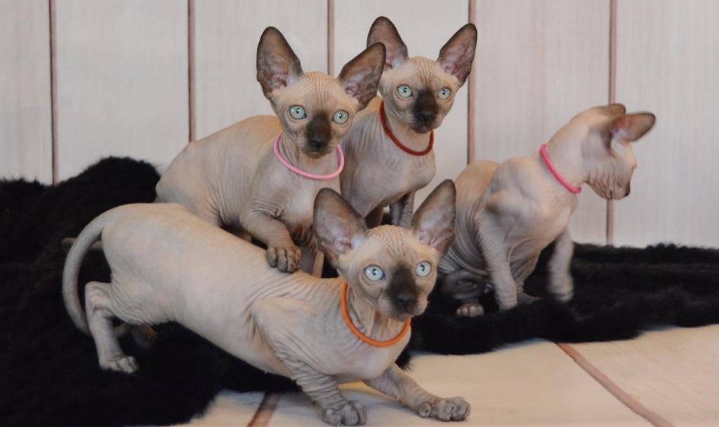 Кошка эльф: фото и описание представителей породы, содержание и уход