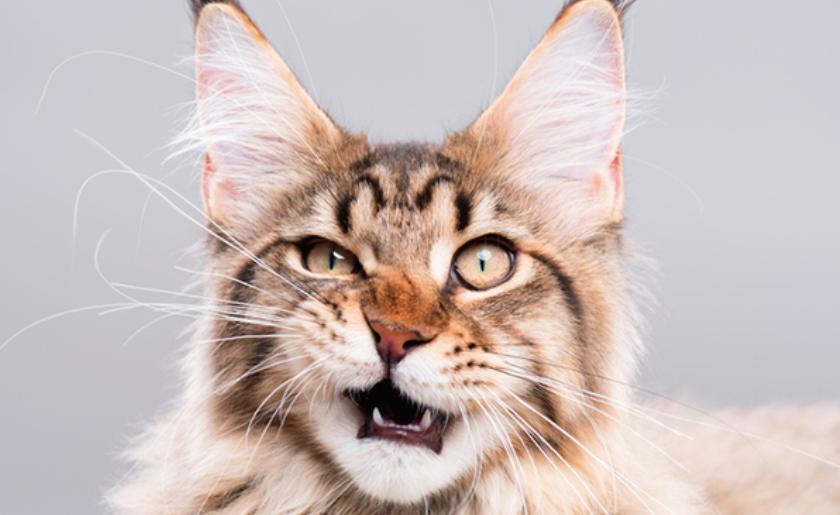 Топ-5 самых умных кошек: породы, рейтинг и характер