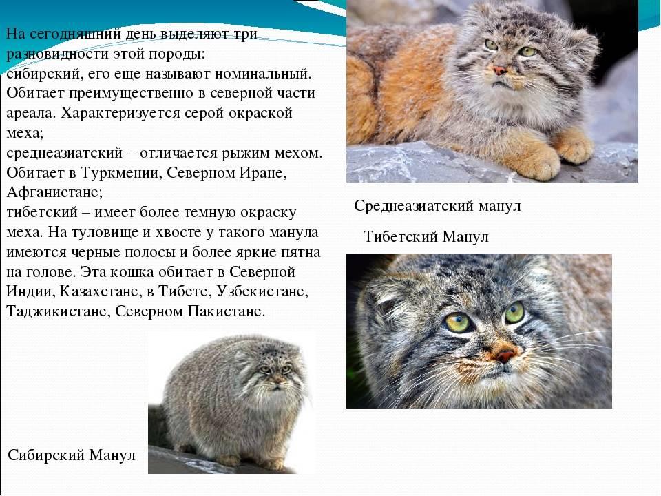 Манул: образ жизни кота, среда обитания, содержание в неволе, фото, можно ли приручить дикого котенка