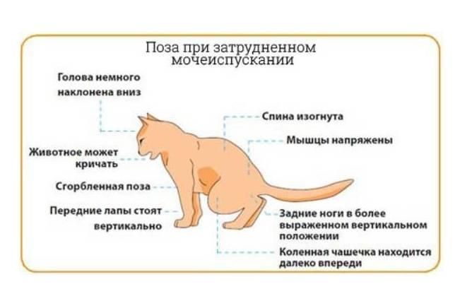Симптоматика идиопатического цистита у кошки: лучшие способы лечения