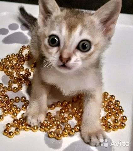 Самые маленькие породы кошек – список, описание, фото и видео