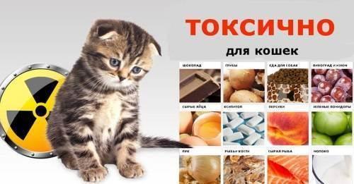 Чем нельзя кормить кошку или правила составления рациона