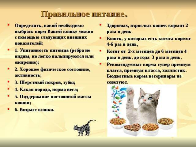 Каким кормом кормить британскую кошку