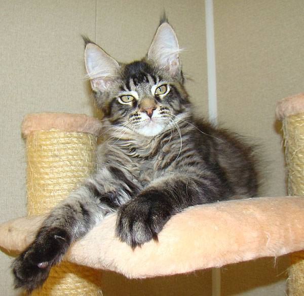Фото котенка мейн-кун в 1-6 месяце — вес и рост по месяцам.