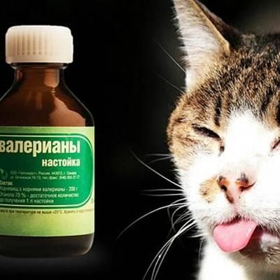 Принцип действия валерьянки для кошки: как правильно давать питомцу
