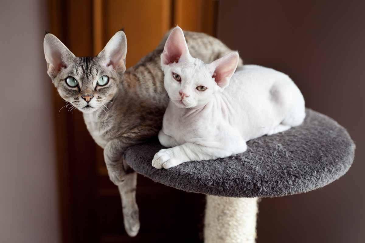 Кошки девон-рекс: информация и характерные особенности