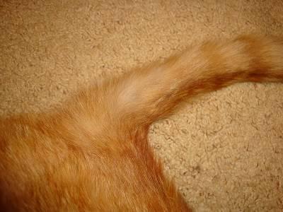 Почему кошка лысеет и как остановить выпадение шерсти?