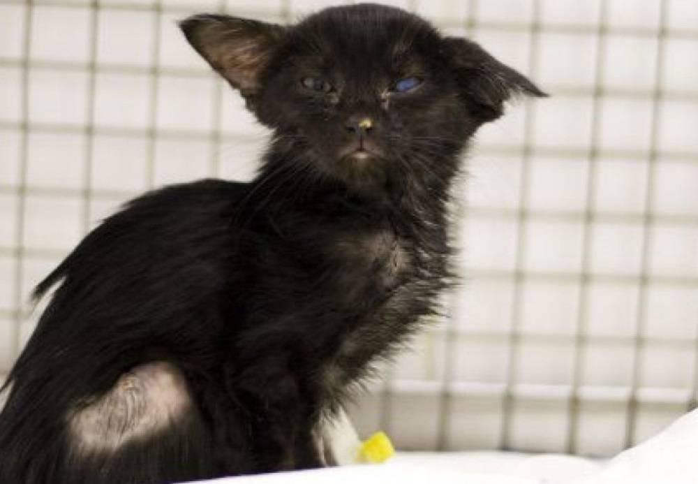 Чумка у кошек: симптомы и лечение заболевания