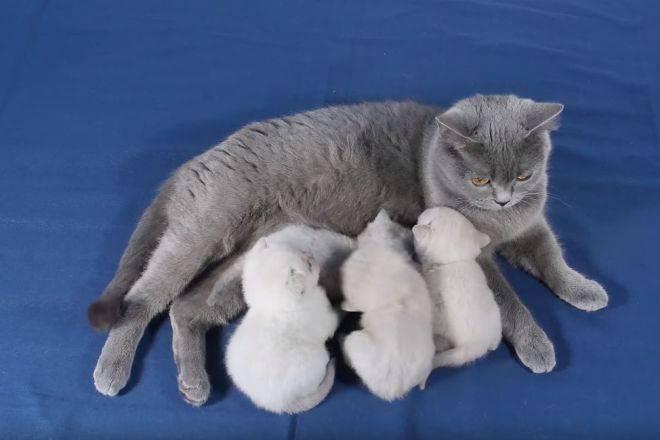 Сколько длится беременность у британской кошки?