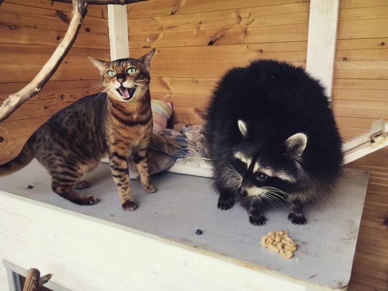 Дикие кошки домашние | все о кошках