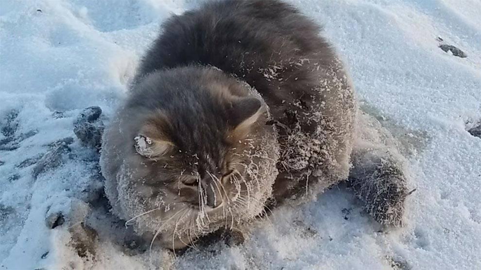 Красивые коты зимой. мерзнут ли кошки зимой? при какой температуре кошка может гулять на улице