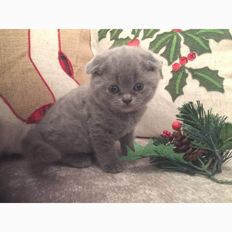 Вислоухий кот шотландский: характер, окрас, описание и фото