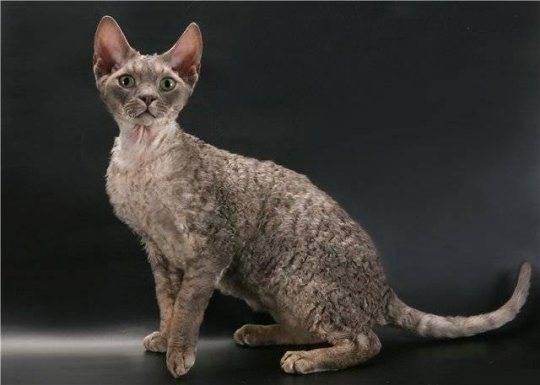 Кошки рекс: популярные породы и их содержание