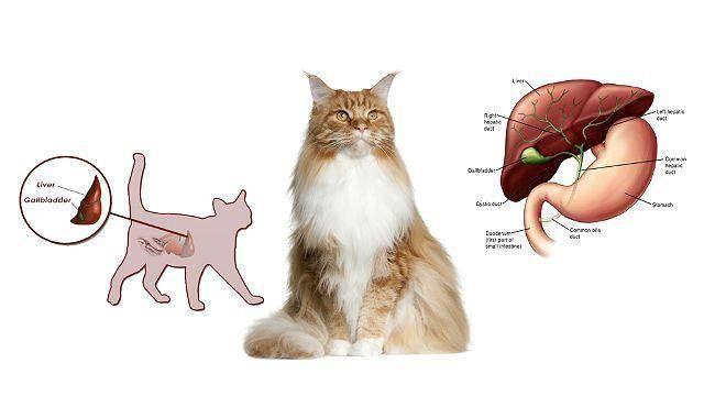 Щелочная фосфатаза повышена у кошки: топ причины