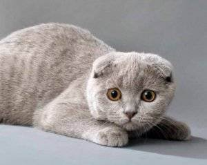Остаться в живых: уход за ушами кота