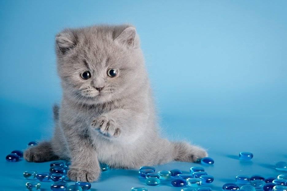 Правильный уход за британскими котятами: содержание и кормление в домашних условиях